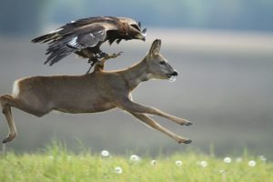 Eagle and Deer