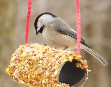 Birdfeeder with Toilet Paper Rolls
