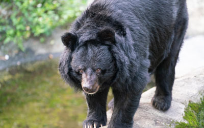 Formosan Black Bear