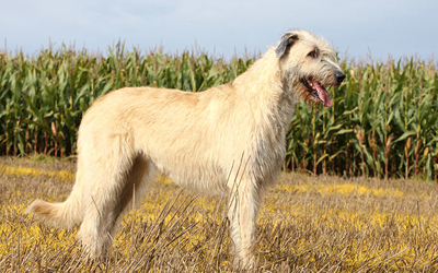 Irish Wolfhound - Irland