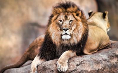 Lion - Belgium