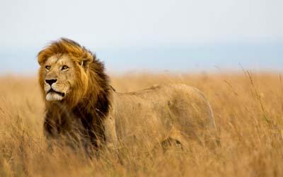 Lion - Denmark