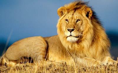 Lion - England