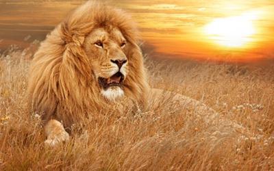 Lion - Netherlands