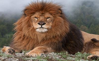 Lion - Norway