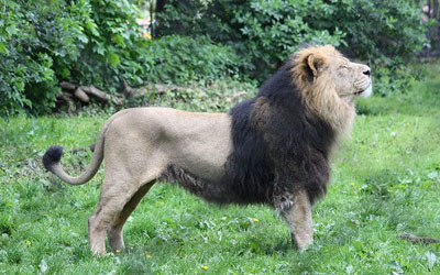 Lion - Sri Lanka