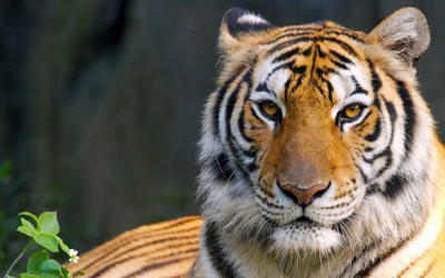 Royal Bengal Tiger - Bangladesh