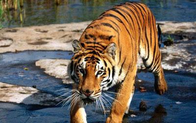 Tiger - Myanmar