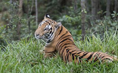 Tiger - Vietnam