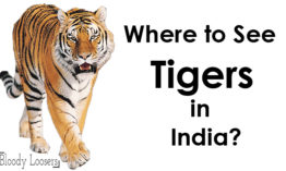 Where to See Tigers in India?